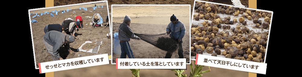せっせとマカを収穫しています/付着している土を落としています/並べて天日干しにしています